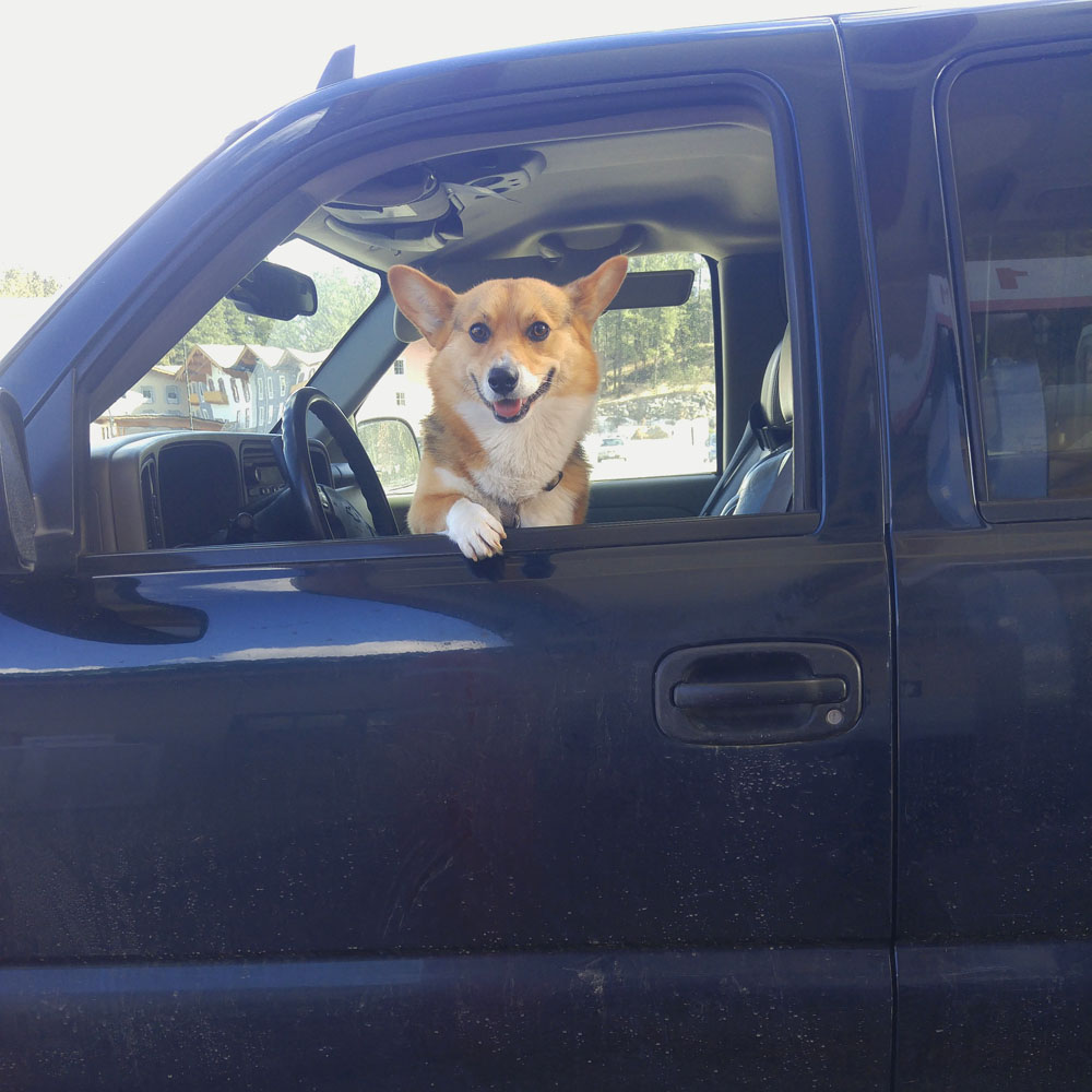 Kebab the Corgi in the driver's seat