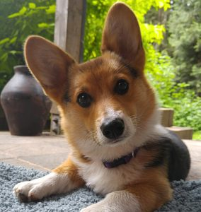 Kebab the Corgi at 6 months
