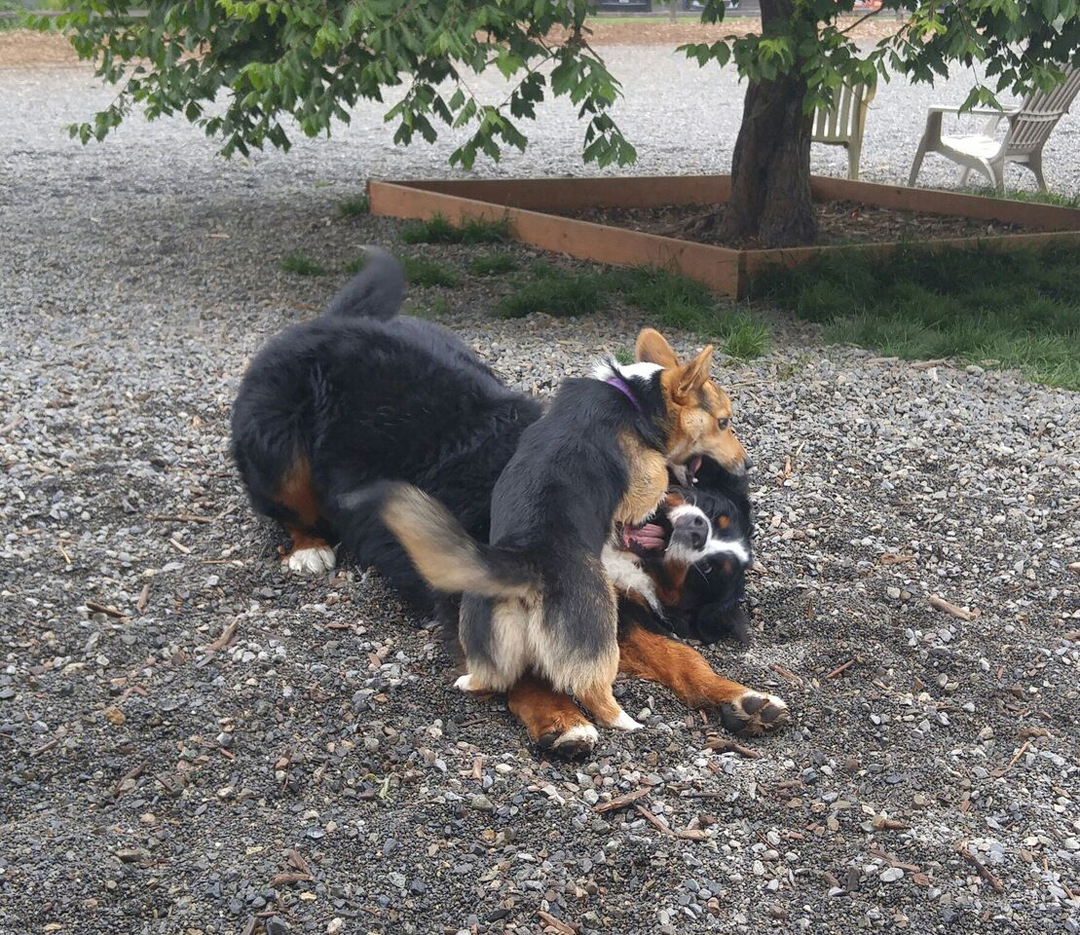 Kebab pins a Bernese Mountain dog