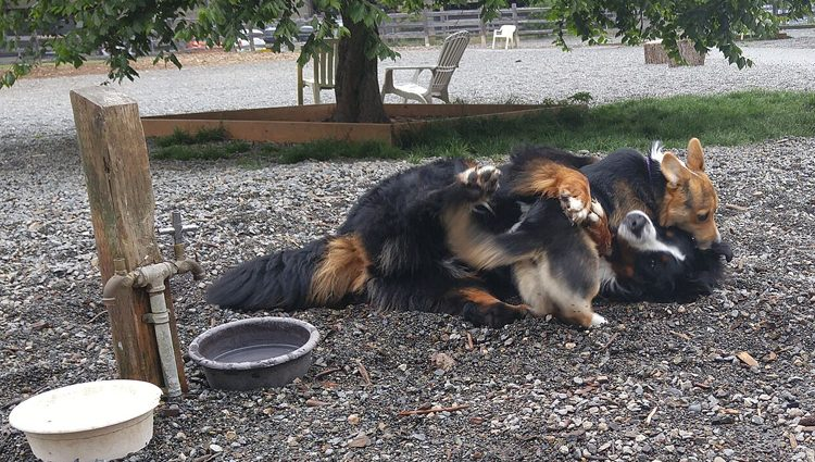 Kebab wrestling with Bernese Mountain dog