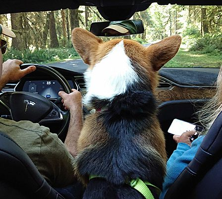 corgi in a tesla