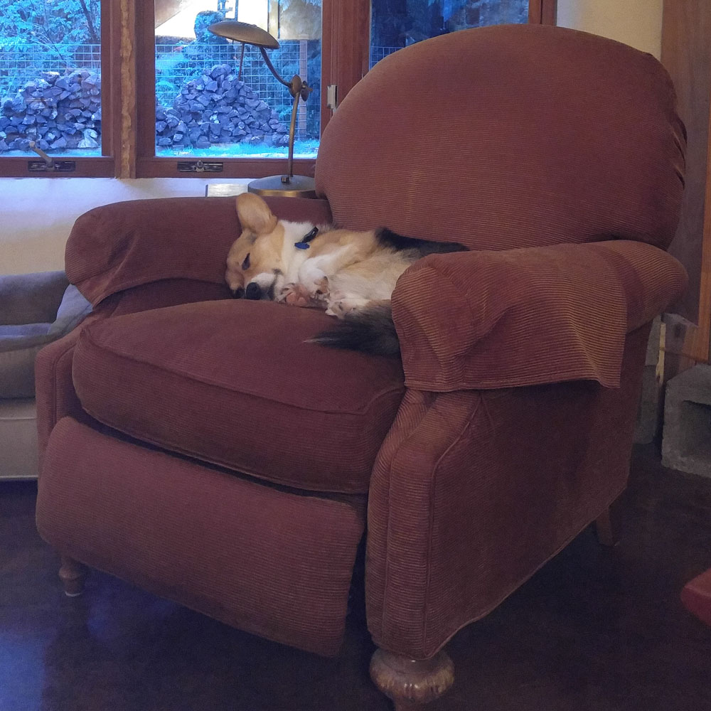 Kebab the Corgi sleeping in an armchair