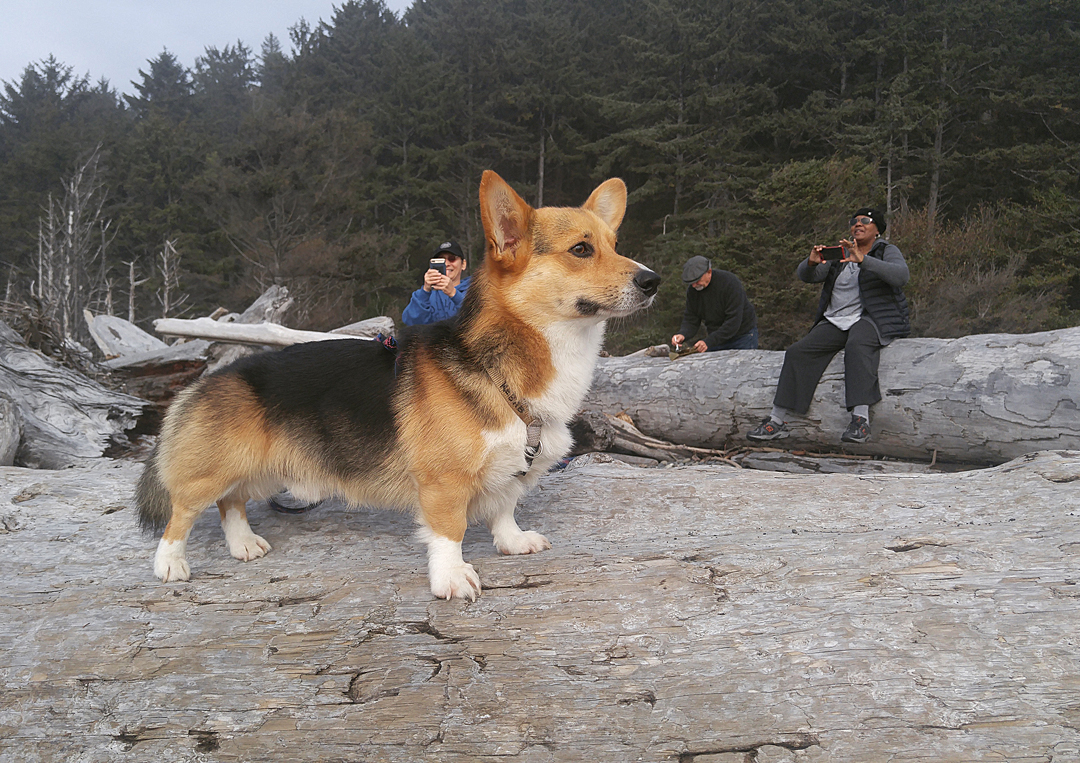 kebab the corgi poses on driftwood for the cameras
