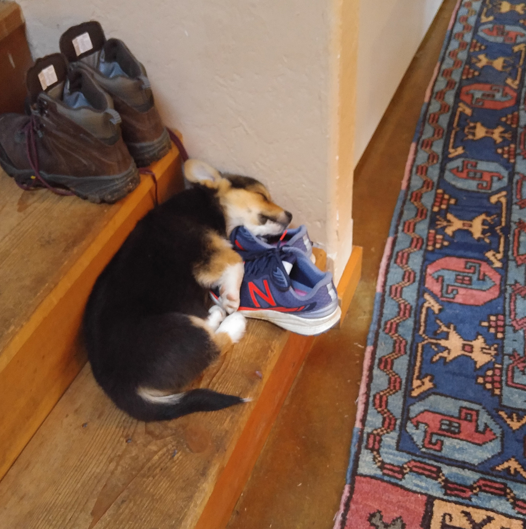 Puppy Kebab sleeping on Mama's shoes