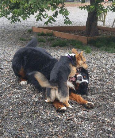 Kebab pins a Bernese Mountain dog