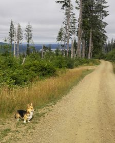 Kebab the Corgi on a wilderness road in south Washington State