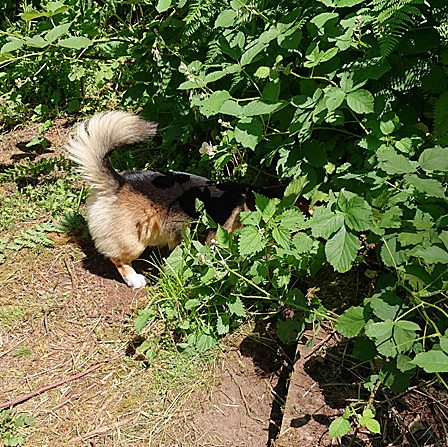 corgi tail in the bushes